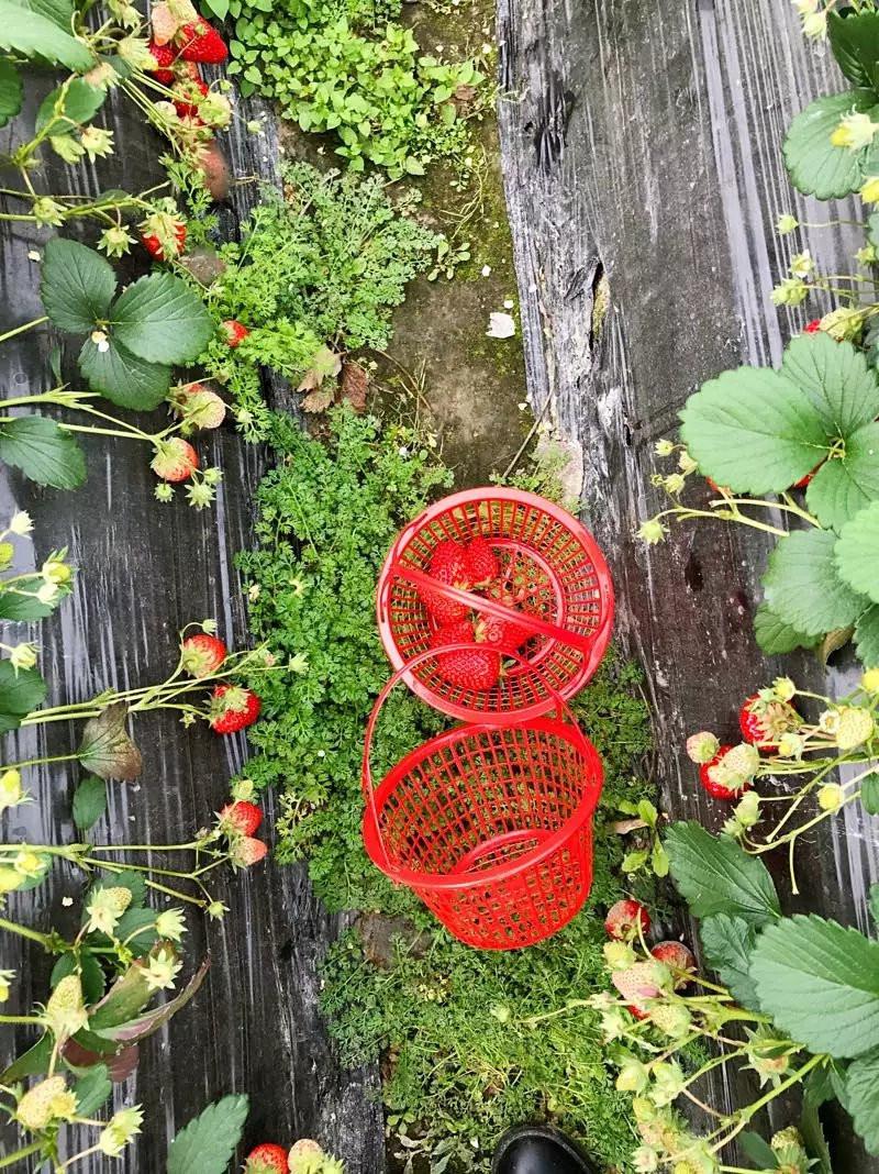 装草莓的篮子
