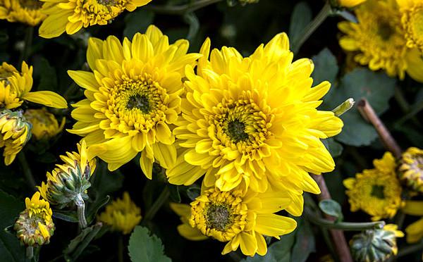 五彩斑斓的菊花