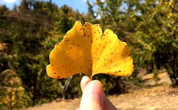 银杏林 美艳了整个秋天