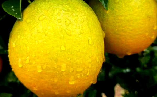 """等待""""橙""""熟 ——赣南脐橙"""