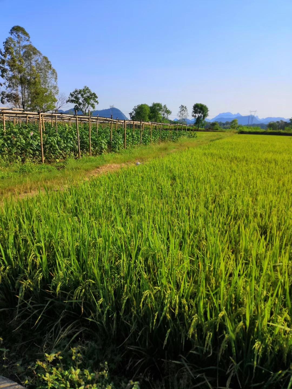 茶园不远处的稻田