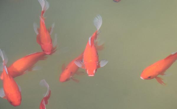 红鲤鱼欣赏