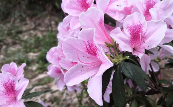 杜鵑花開的季節