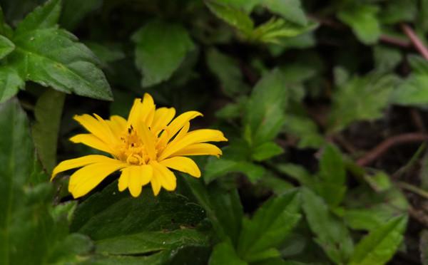 植物图鉴-蟛蜞菊