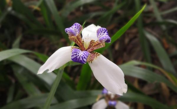 巴西鸢尾花