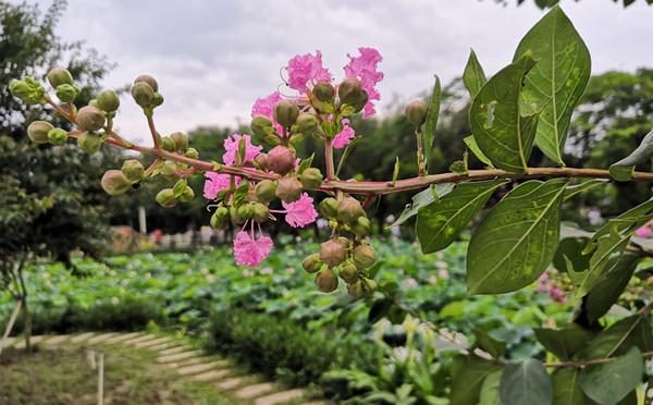 植物圖鑒-紫薇