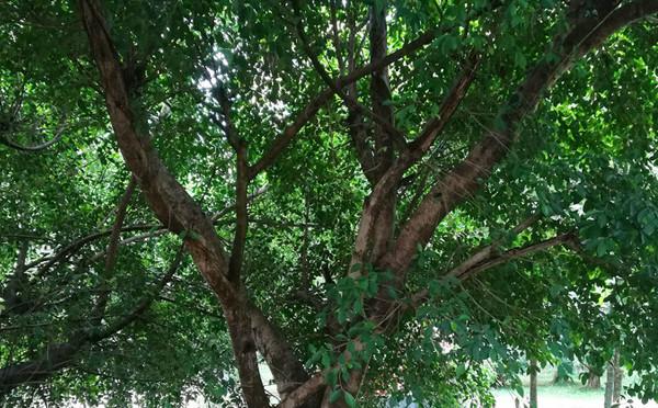 郁郁蔥蔥的榕樹