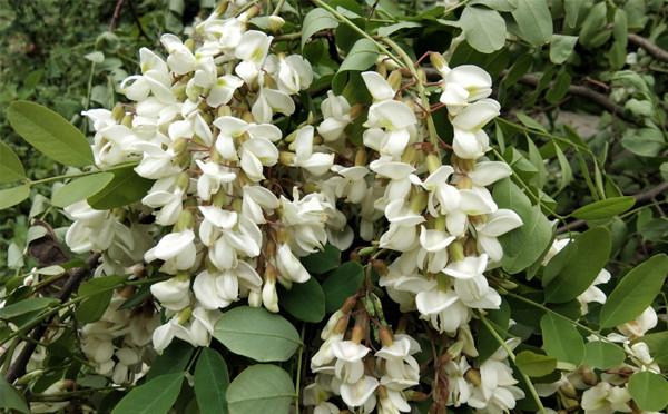 白茫茫的洋槐花,淡淡的清香味,那是儿时的记忆