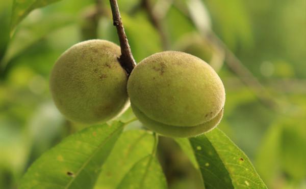 桃子和灰白毛莓