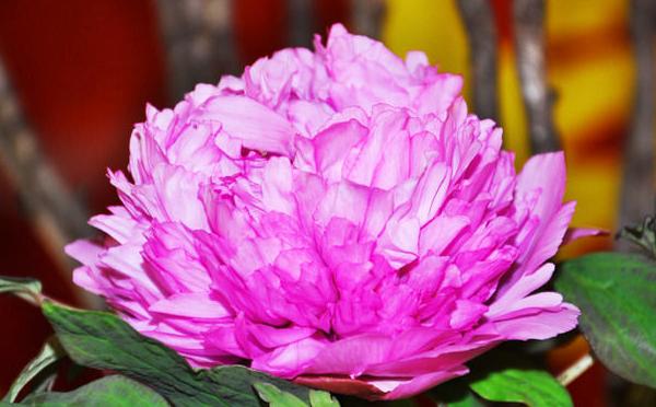 广州番禺百万葵园室内牡丹花