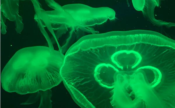水生环境中重要的浮游生物--水母