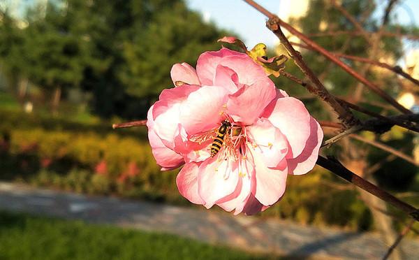 桃花盛开啦