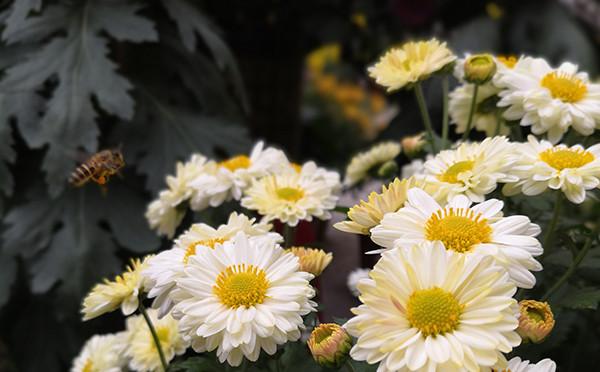 蜜蜂、菊花的合影