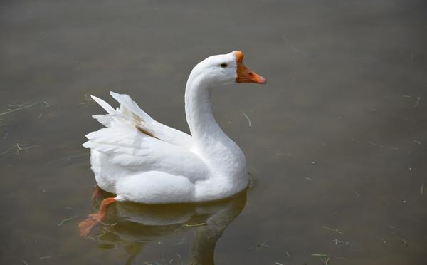 公园中玩耍的鸭子