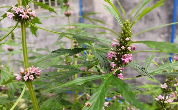 植物图鉴-益母草
