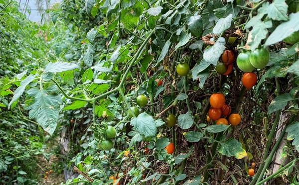 植物图鉴-番茄