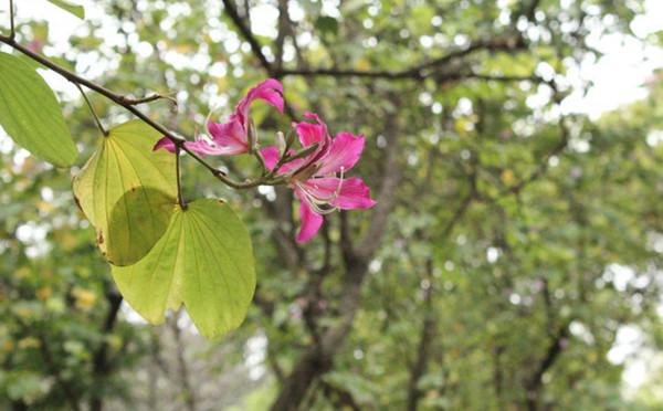 植物图鉴-紫荆花