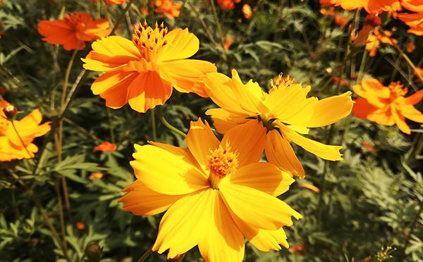 黄秋英——美丽的黄色花海