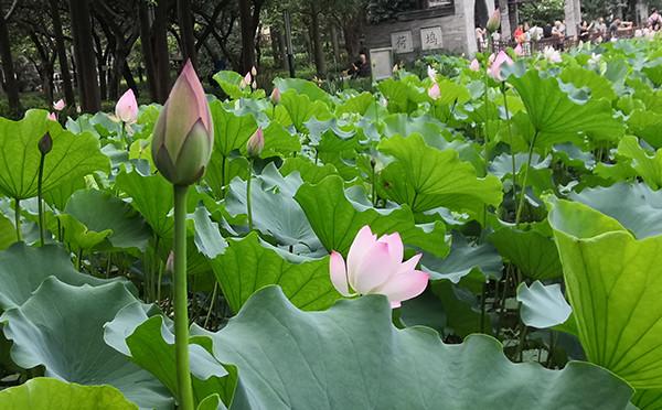 植物图鉴-荷花