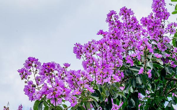 紫金花,满堂红