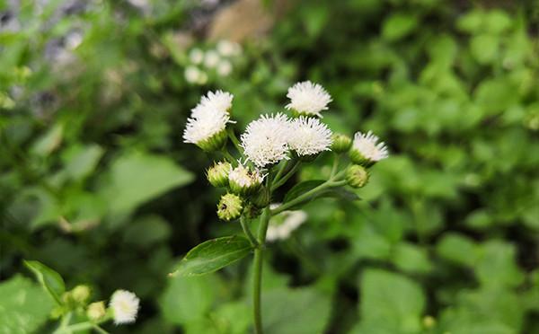 植物图鉴-藿香蓟