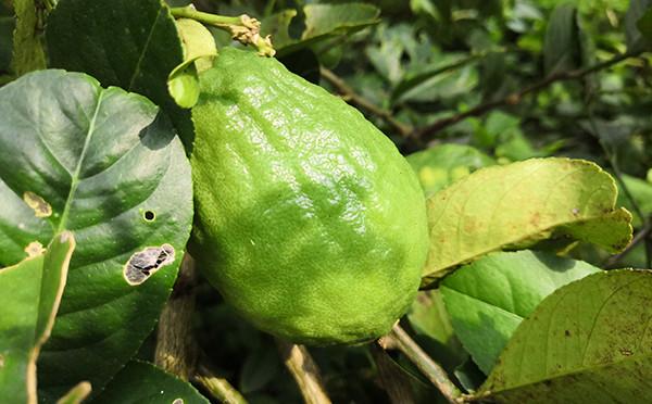 植物图鉴-香水柠檬