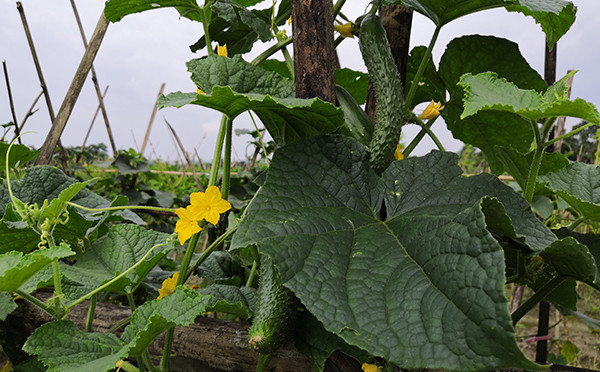 植物图鉴-青瓜