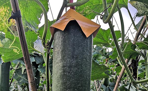 植物圖鑒-黑皮冬瓜