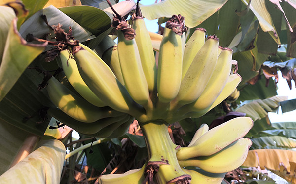 植物图鉴-芭蕉