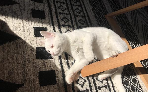 白色田园猫