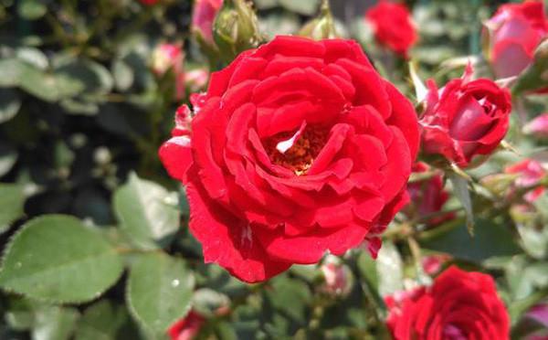 农村的月月红就是书上的月季花