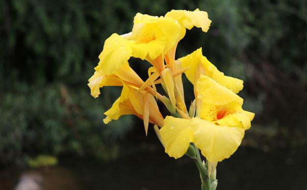 打湿的美人蕉花