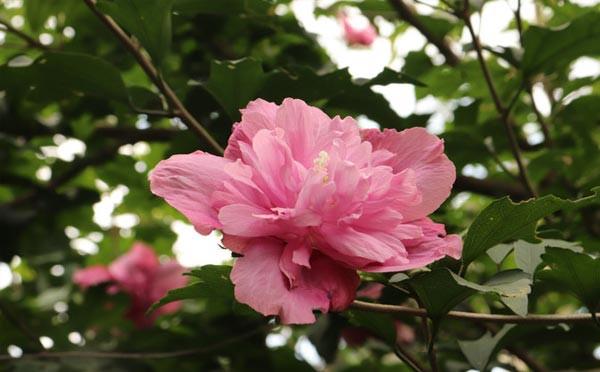 粉色木槿花