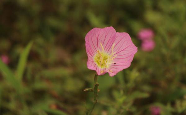 盛開的粉色月見草