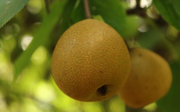 樹上的梨子