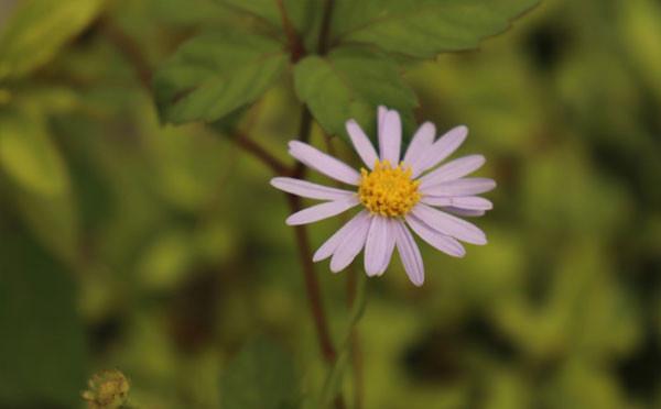 小朵紫菀花