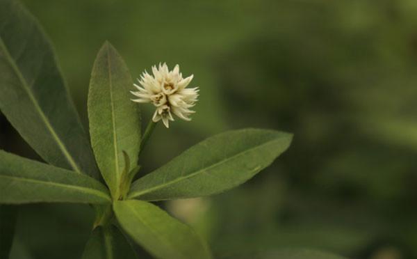 黃楊樹和蓮子草
