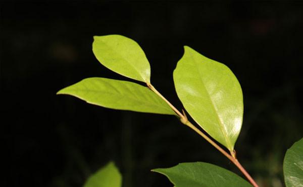 杨梅叶蚊母树