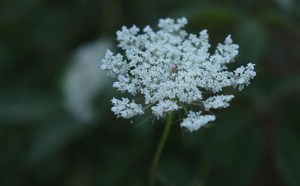 夏季盛开的白色花团