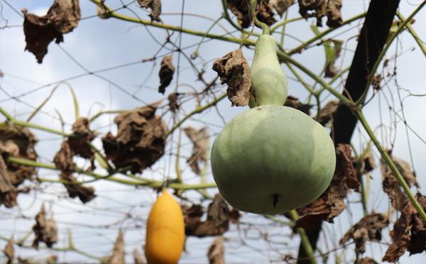 各種類的瓜