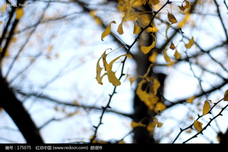 金色的银杏树叶图片_动物植物图片