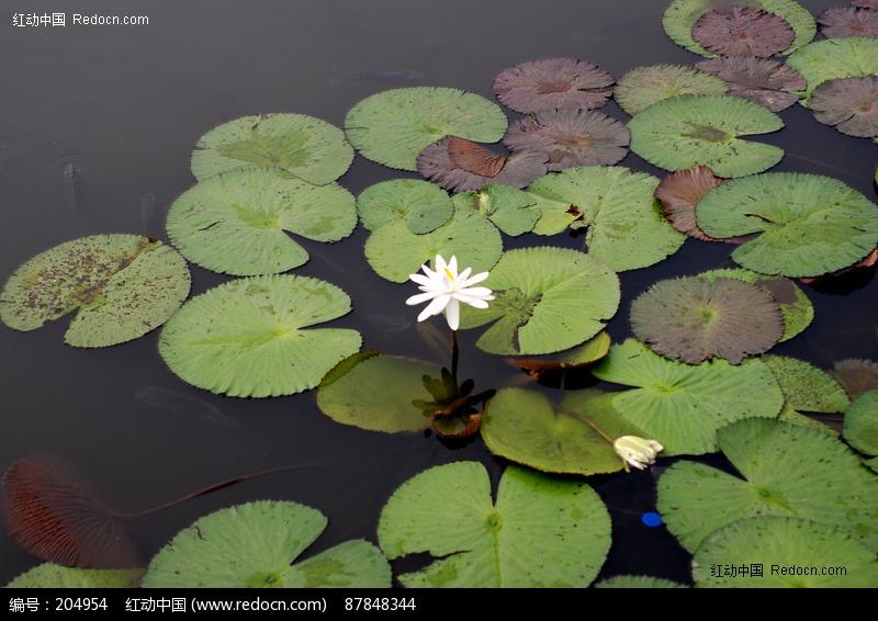 池塘里的白色莲花图片素材下载 204954