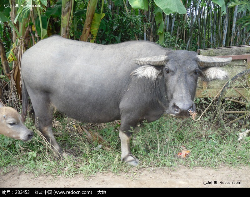 很可爱的牛