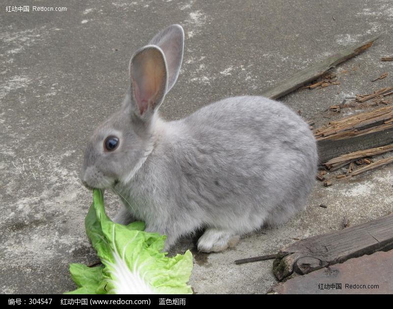 吃白菜的可爱兔子图片,高清大图_家禽家畜素材