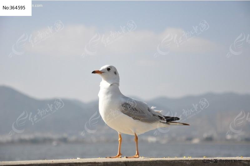 卡通海鸥简笔画; 站立的海鸥图片
