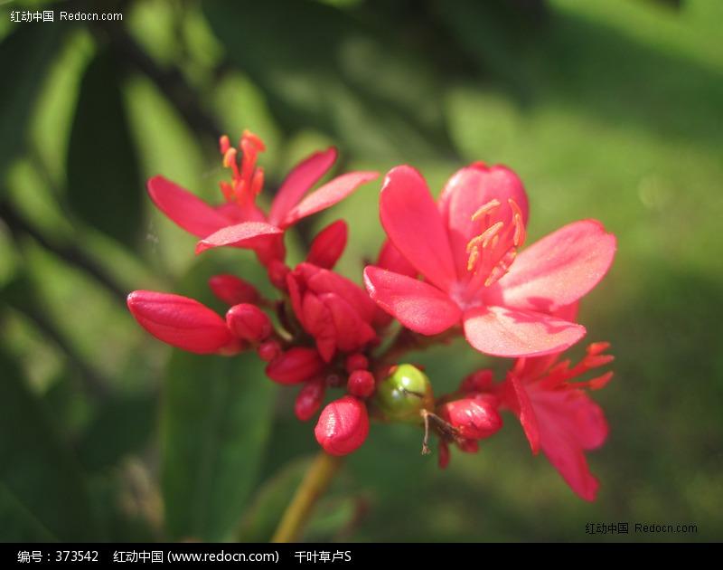 艳丽小红花