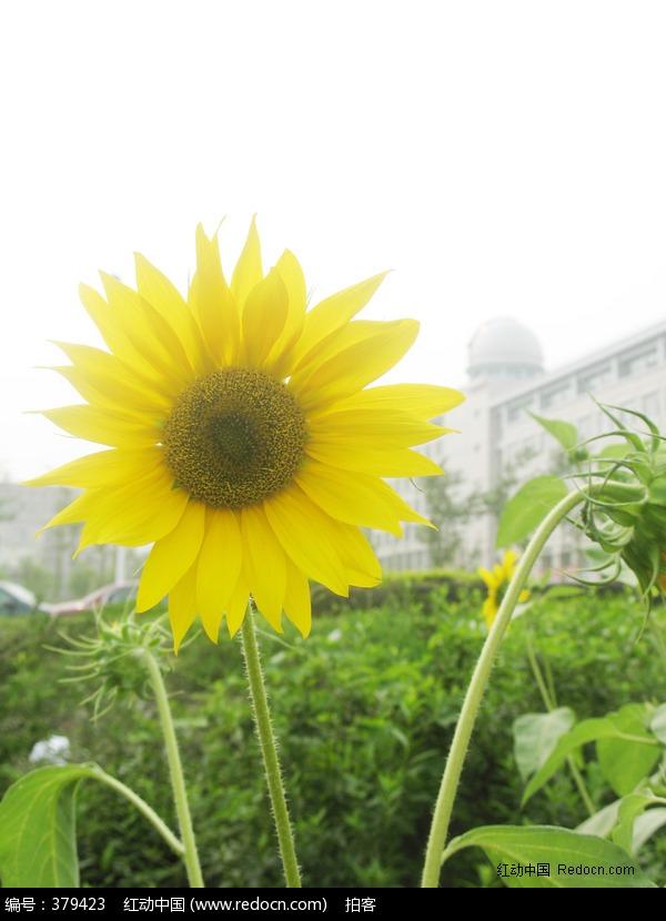 向日葵 太阳花