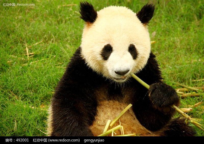 大熊猫吃竹子  绿色草地