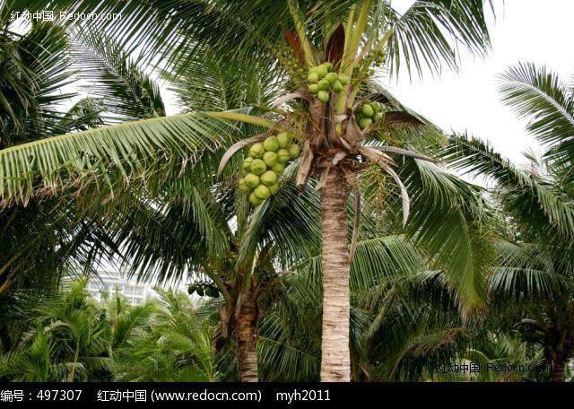 原创摄影图 动物植物 树木枝叶 三亚 椰子树 特写