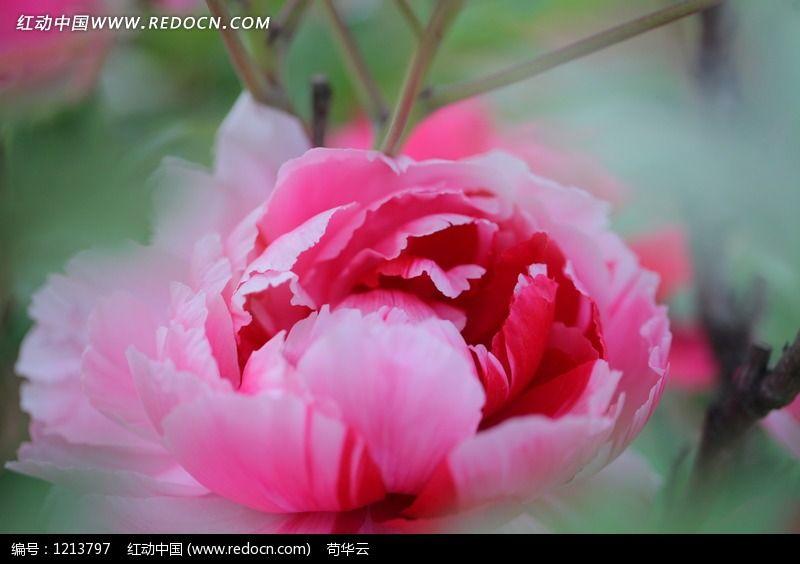梦幻牡丹花图片_动物植物图片